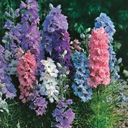 Larkspur Hyacinth Dwarf Mixed Mr Fothergill's Range Seed