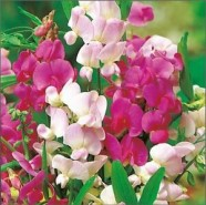 Lathyrus Everlasting Mix Kings Seed Range
