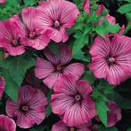Lavatera Loveliness Seeds
