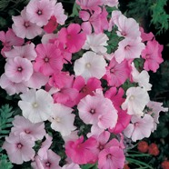 Lavatera Pastel Mix Seeds