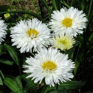 Leucanthemun Double White (1 Root)