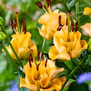 Lilium Apricot Fudge (3 Bulbs)