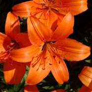 Lilium Orange Pixie (3 Bulbs)