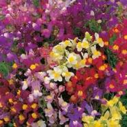 Linaria Fairy Bouquet Mix Seeds