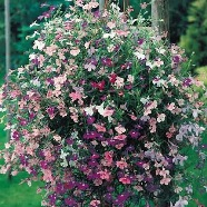 Lobelia Cascade Country Value Range Seed