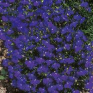 Lobelia Crystal Palace Country Value Range Seed