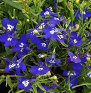 Lobelia Trailing Sapphire Country Value Range Seed