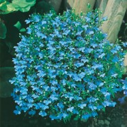 Lobelia Cambridge Blue Mr Fothergill's Seed