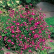 Lobelia Crimson Fountain Mr Fothergill's Seed