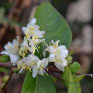 Lonicera x purpusii Winter Beauty (9cm)