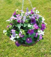 Hanging Basket With Morning Glory Flowers