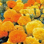 Marigold African Double Mix Seeds DATED 2020