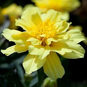 Marigold French Alumia Vanilla Cream Seeds