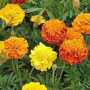 Marigold French Double Mix Seeds
