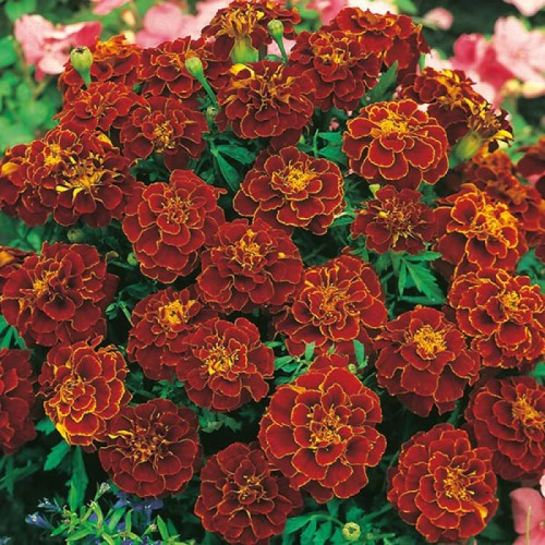 Marigold Red Cherry Seeds