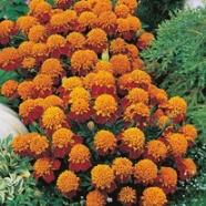 Marigold Tiger Eye Mix Seeds
