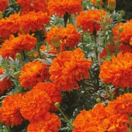 Marigold African Kees Orange Seeds
