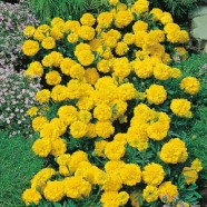 Marigold French Yellow Jacket Seeds