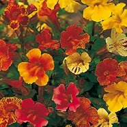Mimulus Extra Choice Seeds