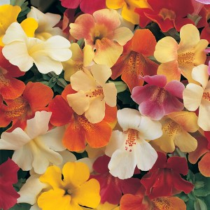 Mimulus Magic Mixed F1 Seeds