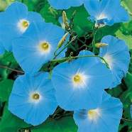 Morning Glory Heavenly Blue Country Value Range Seed