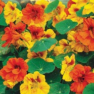 Nasturtium Tall Single Country Value Range Seed