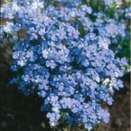 Nemesia Blue Gem Seeds