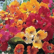 Nemesia Carnival Mixed Country Value Range Seed