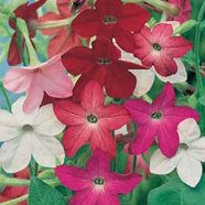 Nicotiana Sensation Mix Country Value Range Seed