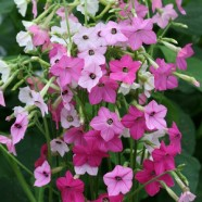 Nicotiana Whispers Mixed Seeds