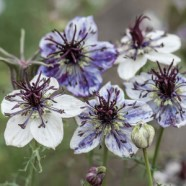 Nigella Delft Blue Seeds