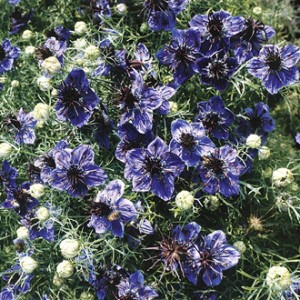 Nigella Midnight Seeds