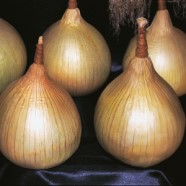 Onion Ailsa Craig Seeds