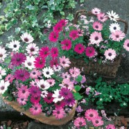 Osteospermum Daisy-Mae Mixed Mr Fothergill's Seed
