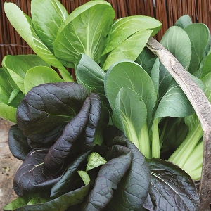 Pak Choi Colour & Crunch Mr Fothergill's Seed