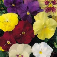 Pansy Early Flowering Mix Seeds