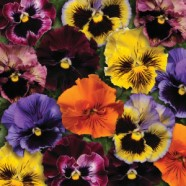 Pansy Frizzle Sizzle Seeds