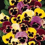 Pansy Swiss Giant Mix Seeds