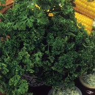 Parsley Moss Curled 2 Herb Seeds