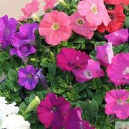 Petunia Bedding Mix Seeds