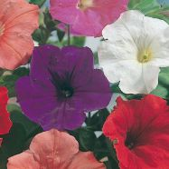 Petunia Confetti Mixed F2 Seeds