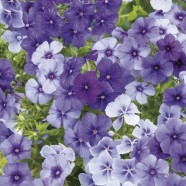 Phlox Moody Blues Seeds