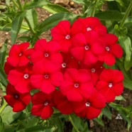 Phlox Red (1 Root)