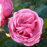 Rose Pink Perpetue Climber (5 Ltr)