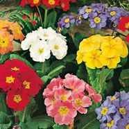 Polyanthus Large Flowered Mix Mr Fothergill's Seed