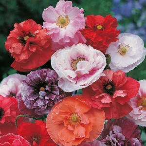 Poppy Dawn Chorus Seeds