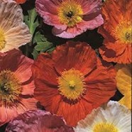 Poppy Iceland Giant Seeds