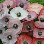 Poppy Mother Of Pearl Seeds