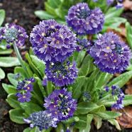 Primula denticulata Blue Selection (9cm)