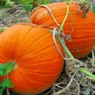 Pumpkin Big Max Country Value Range Seed